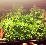 Flat Italian Parsley